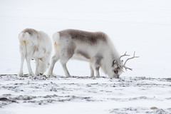 Svalbard Reindeer at Sassendalen S24A8619 (grebberg) Tags: snowmobile tour longyearbyen mohnbukta spitsbergen svalbard april 2017 snow sassendalen rangifertarandusplatyrhynchus rangifer rangifertarandus reindeer mammal svalbardreindeer