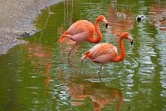 Caribbean Flamingo (Phoenicopterus ruber) (Seventh Heaven Photography) Tags: caribbean flamingo american phoenicopterus ruber phoenicopterusruber pink plumage feathers nikond3200 bird flamingos