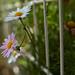 Daisies (chibitomu) Tags: canon 5dmarkiii canonef35mmf2is daisy flower plant shinagawaku tokyo japan デージー 品川区 東京 日本 chibitomu