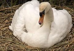 D81_2263 (charlesvanlangeveld) Tags: knobbelzwaan zwanen knobbelzwanen mute swan cygnus olor white bird animal
