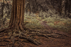 Fingers of Life (Glenn D Reay) Tags: yew tree roots bark textures tones intimatedetail woods close vegetation pentaxart pentax k30 sigma1770hsm glennreay