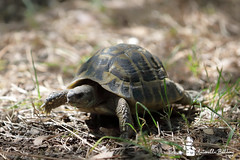 tartaruga (balboni.antonella) Tags: animali naturalistica natura tartaruga tartarughe rettili