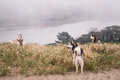 2017-05-04_03-53-07 (tcutrackstar44) Tags: dogs huskies sanfrancisco fortfunston dog