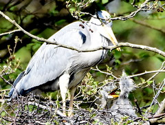 You are beautiful, no matter what they say.... (pstone646) Tags: herons birds chicks parent nest fauna wildlife animal nature kent closeup tree motherandbabies