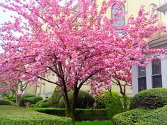 Walking the Brooklyn Streets. Sakura in Bloom (dimaruss34) Tags: newyork brooklyn dmitriyfomenko image spring street trees sakura bloom blossom