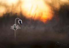 Pulsatilla VI. (Inspiring Nature Photography) Tags: pulsatillanigricans sigma150mmmacro flower spring anemone sunset light bokeh macro