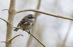 1704_EOS7DMKII-04-162016_01297-Edit (Peter Bangayan) Tags: hummingbirds smallbirds bird canon eos7d eos7dmkii ef500mmf4lisusm wildlife wild nature nisquallywildliferefuge