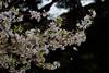 Prunus pendula form. ascendens (Masaoki Hirai) Tags: trioplanf28100 prunus cerasus rosaceae cherryblossoms