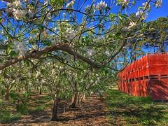 Apple Blossoms (amarilloladi) Tags: pacificnorthwest washington washingtonapples trees orchards spring blossoms appleblossoms appletrees tmt