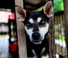 ,, Tinker Bell ,, (Jon in Thailand) Tags: eyes ears dog k9 jungle tinkerbell nose red blue green pink dogportrait bigears littledoglaughedstories
