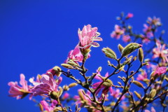 Magnolia (JulieK (thanks for 8 million views)) Tags: hss sliderssunday pink 100flowersin2017 topazglow postprocessed colourful bloom bluesky jfkarboretum wexford ireland irish magnolia canoneos100d bright