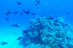 Gathering (H.H. Mahal Alysheba) Tags: saipan sea ocean underwater water fish life blue marine nikon d800 carlzeiss zeiss distagon 28mmf2