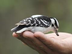 Very friendly Downy Woodpecker (gmorient1@aol.com) Tags: birds centralpark newyork springmigration