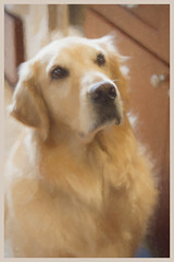 """The """"look"""". 19/52-Atticus52 Weeks for Dogs (Exdeltalady) Tags: painterly 52weeksfordogs golden goldenretriever canine pet painting topaz atticus 50mm niftyfifty"""