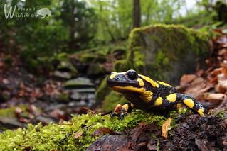 Gestreifter Feuersalamander (Salamandra salamandra terrestris)