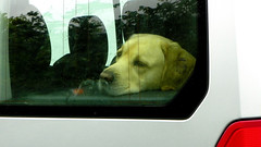 IF I COULD ONLY OPEN THE DOOR (Gary Post) Tags: if i could only open the door dog labrador