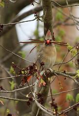 cardinal mama with nesting material (Salamanderdance) Tags: cardinal female nesting material carry bird spring