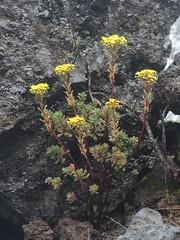 Spateliges Aeonium an der LP-301 (West), La Palma , NGID379749474