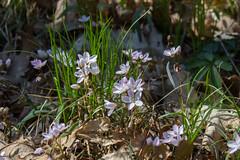 Wildflowers, April 2017:  Claytonia virginica. (marylea) Tags: springbeauty apr22 2017 wildflowers flowers hudsonmillsmetropark hudsonmills washtenawcounty michigan spring springtime claytoniavirginica