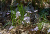 Wildflowers, April 2017:  Claytonia virginica. (marylea) Tags: springbeauty apr22 2017 wildflowers flowers hudsonmillsmetropark hudsonmills washtenawcounty michigan spring springtime claytoniavirginica metropark park