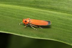 Bythoscopus ferrugineus (Leafhopper) - Singapore (Nick Dean1) Tags: cicadellidae hemiptera animalia arthropoda arthropod hexapoda hexapod insect insecta pasirrispark singapore planthopper leafhopper canon canon7d