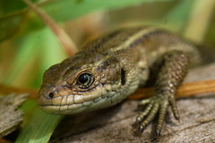 DSC04172 - Common Lizard (steve R J) Tags: common lizard wat tyler country park basildon essex reptiles british