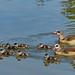 Familie Nilgans, hier mal alle auf einem Blick! (baerchen57) Tags: tiere animals hallesaale natur makro nilgänse nilgans kücken