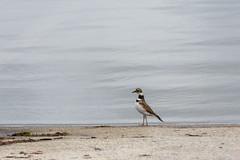 Just a Little Bug Paunch (Maggggie) Tags: killdeer bird shore 365 lakehorton