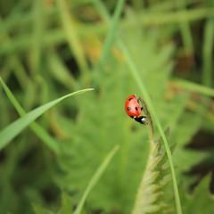 A little Ladybutt (JulieK (thanks for 6 million views)) Tags: hbbbt 2017onephotoeachday sevenspotladybird insect macro green squareformat wexford ireland irish fauna beautifulnature canoneos100d