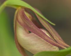 BPLS May 175443 (Carolina explorer photographer) Tags: charleshardin charleskhardinphotography floral flowers outdoorsphotography pinkladyslippers sc southcarolina spring httpswwwfacebookcom httpswwwflickrcomphotos51814359n06