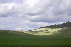 palouse IMG_8035 (campviola) Tags: palouse spring wheat wheatfields cloudscape blueskywithclouds beautifulclouds green