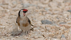 European Goldfinch (keynowski) Tags: europeangoldfinch saka cardueliscarduelis bird nature ngc animalplanet animal canon70d canonef400mmf56lusm