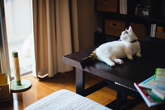 lou + lovely day (Nazra Z.) Tags: munchkin tabby male cat sitting dining table natural light vscofilm okayama japan pet indoors 2017 raw home