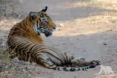 Relaxed Tigress (fascinationwildlife) Tags: animal mammal tiger tigress predator cat wild wildlife nature natur national park india indien ranthambhore asia big female forest enda endangered species elusive feline