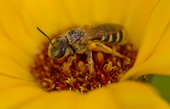Tiny Sweat Bee (elderkpope) Tags: ngc macrodreams canon macro close bee flower insects insect bug bugs nature outdoors backyard utah yellow