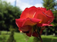 paris-161 (gabriel_flr) Tags: paris france seine ladéfense toureiffel bateaux grandearche gabrielflr gabrielflorea blueskies puteaux courbevoie macron investitureduprésident notredame rose roses rosen trandafiri trandafir blooms blumen fleures rosa