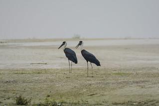 Wooly-neck Stork