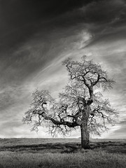 A Tree near Paseo del Roble Trail (StefanB) Tags: 1235mm 2017 arastraderopreserve bw california em5 geotag hiking monochrome outdoor tree treescape