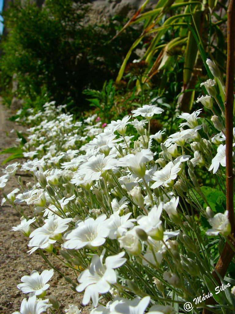 Águas Frias (Chaves) - ... flores no campo ...