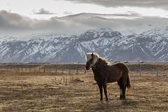 White on Blonde (Kadu Flyer) Tags: eyjafjallajökull pony horse iceland mountain snow volcano