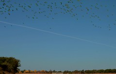 Flock of parakeets flying over agriculture fields (DayBleeker) Tags: birds aves flying inflight bandada flock field campo paisaje landscape chacoparaguayo