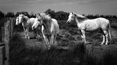Horses of the Camargue (loic.pettiti) Tags: programmanual lens2470mmf28gvr f56 speed12500 iso160 focallength580mm35mmequivalent870mm affinetuneadj11 focusmodeafc afareadynamicarea3dtracking shootingmodesingleframe autoiso vroff ev13 meteringmodespot wbauto1 picturecontrolstandard focusdistance1334m dof1469m9242393 hyperfocal2999m blackandwhite horses camargue