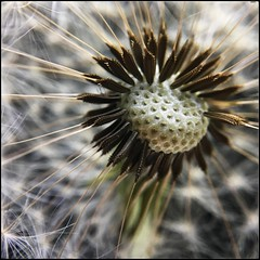 Make a wish (julie scholz) Tags: olloclipmacro olloclip iphone6s shotoniphone6s flower wish spring garden nature macro seedhead dandelion dandelions