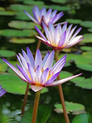 early summer lily (oneroadlucky) Tags: nature plant flower purple waterlily lotus