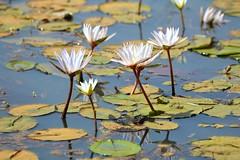 nenufares (daniel virella) Tags: nenufares picmonkey lacdeguiers senegal guiers lake flowers reflex africa westafrica waterlilies
