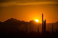 A Sonoran Desert Sunset in Saguaro National Park (adcristal) Tags: saguaronationalpark saguaro cactus cacti sonora sonoran desert west rincon mountain district az sun sunset golden hour sky skies nikond7000 nikon18200mmf3556g nationalpark national park arizona signalhill signal hill