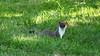 QV4A8399b (RobJHarrison) Tags: stoat unitedkingdom england curryrivel backlane nature mammals exportflag