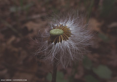 Meaning. (Holly Schreckengost Greene OOTOPHOTO) Tags: macro flower seed flowers dandelion spring season meaning phase life detail seeds wish dream live