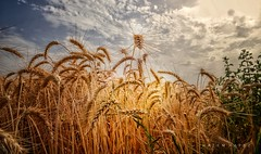 Gold .. (Hazem Hafez) Tags: wheat crop harvest fields farm sky clouds plants