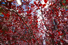 red state (KevinIrvineChi) Tags: red leaves states state chicago chicagoist co consumerist illinois buena park neighborhood ups sunny backlit branches flowers pink blue cloud sony dscrx100 junior terrace abstract abstraction pattern